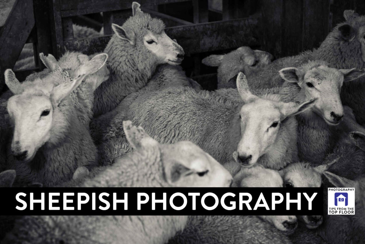 853 Sheepish Photography